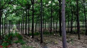 <b>New Age Miracle Forest</b> - Paulownia tree plantation