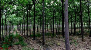 <b>New Age Miracle Forest</b> – Piantagione di alberi di Paulownia